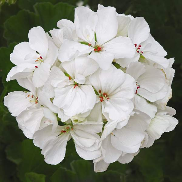 Geranium Zonal Patriot White Improved - Rooted Cutting Liner