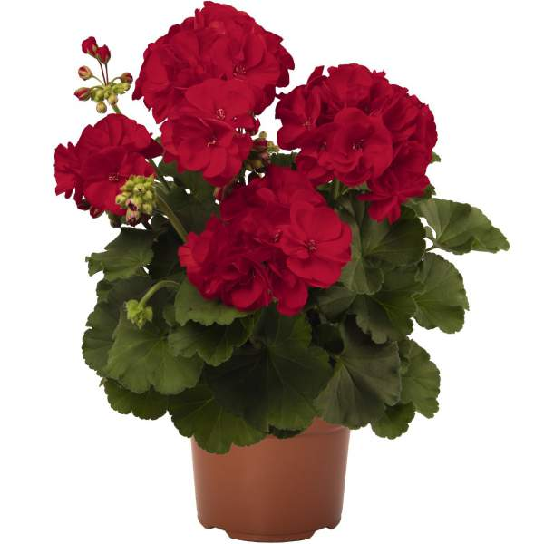 Image Of Geranium Zonal Summer Idols Dark Red