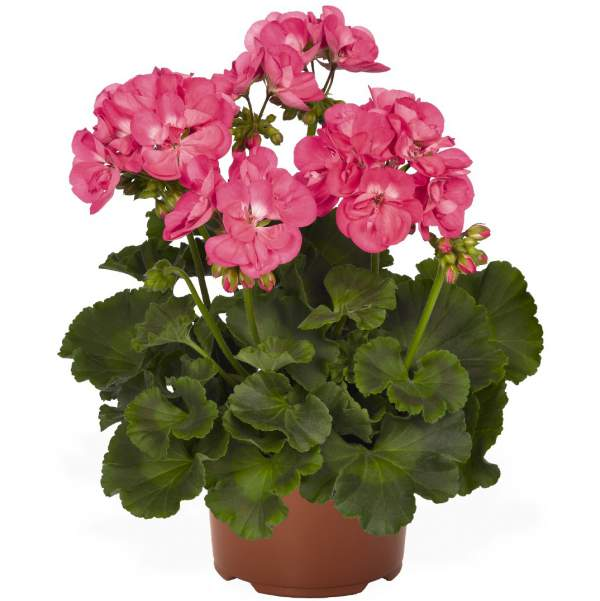 Image Of Geranium Zonal Summer Idols Hot Pink