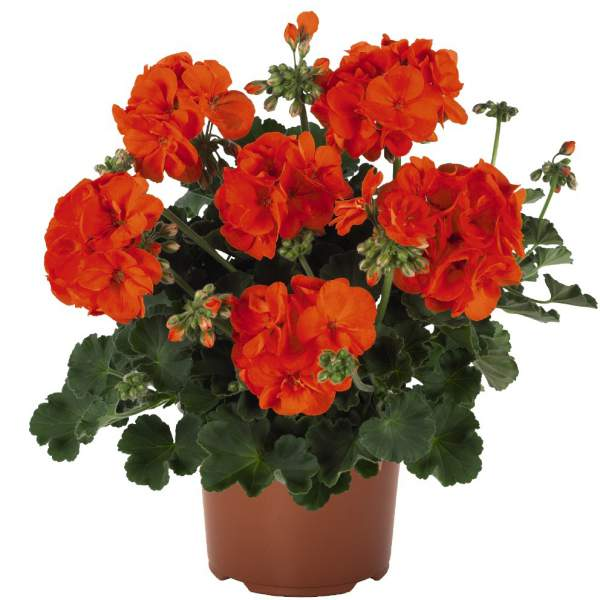 Image Of Geranium Zonal Summer Idols Orange