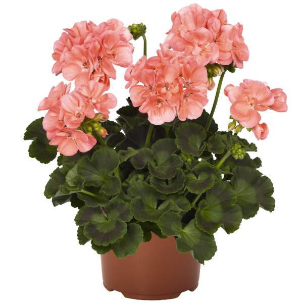 Geranium Zonal Summer Idols Pink - Rooted Cutting Liner