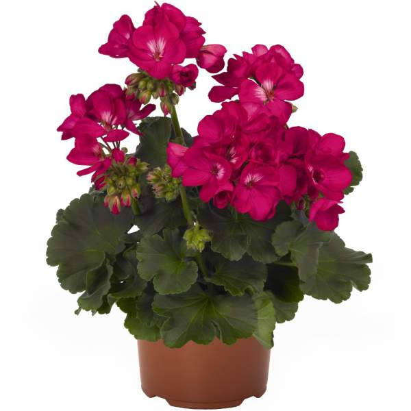 Image Of Geranium Zonal Summer Idols Purple