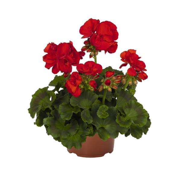 Image Of Geranium Zonal Summer Idols True Red