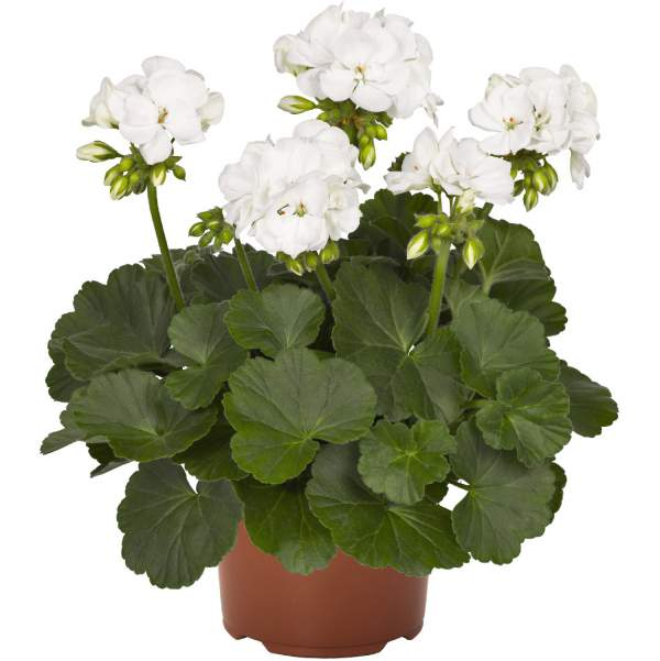 Geranium Zonal Summer Idols White - Rooted Cutting Liner