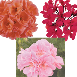 Image Of Geranium Assorted