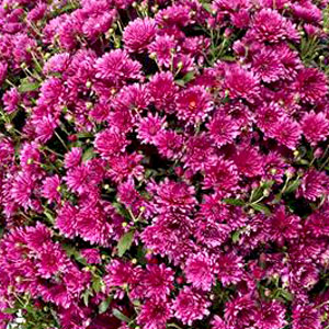 Belgian Mum Girona Purple - Rooted Cutting Liner