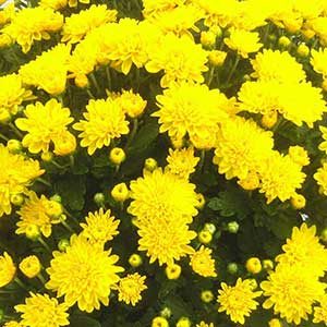 Belgian Mum Gold Crest Bright Yellow - Rooted Cutting Liner