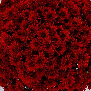 Belgian Mum Granata Red - Rooted Cutting Liner