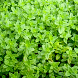 Image Of Herb Thyme Lemon