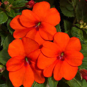 Image Of Impatiens Sunpatiens Spreading Clear Orange