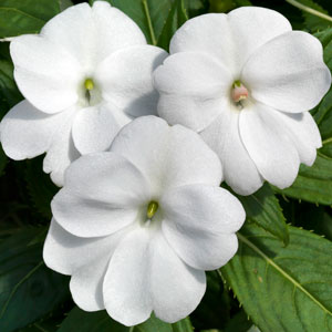 Image Of Impatiens Sunpatiens Vigorous Clear White