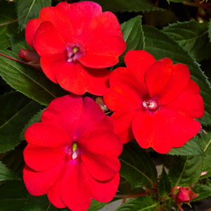 Image Of Impatiens Sunpatiens Spreading Scarlet Red