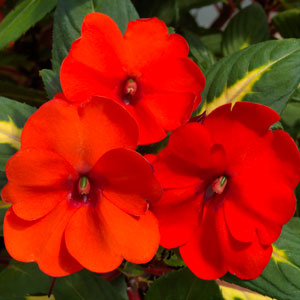 Image Of Impatiens Sunpatiens Vigorous  Tropical Orange