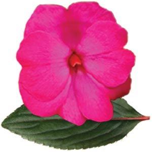New Guinea Impatiens BP Karen  Hot Purple  - Rooted Cutting Liner