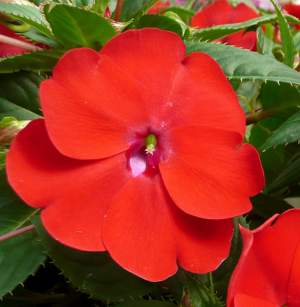 Impatiens Sunpatiens Compact Red - Rooted Cutting Liner