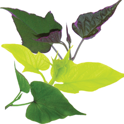 Image Of Ipomoea Sweet Potato Assorted