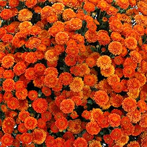 Image Of Belgian Mum Izola Orange