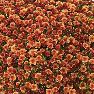 Belgian Mum Jasoda Orange - Rooted Cutting Liner