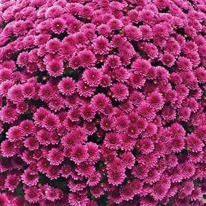Belgian Mum Jasoda Purple