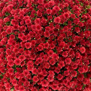 Belgian Mum Jasoda Red