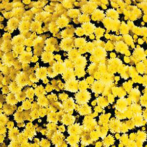 Image Of Belgian Mum Jasoda Yellow