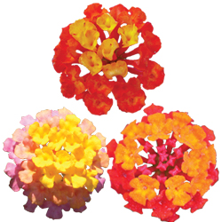 Image Of Lantana Assorted