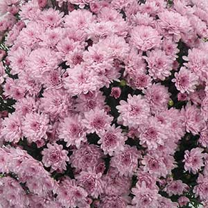 Belgian Mum Latina Pink - Rooted Cutting Liner
