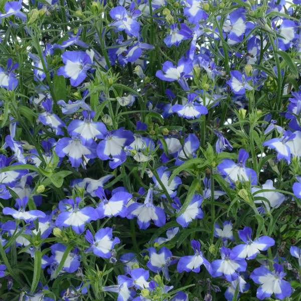Image Of Lobelia Anabel Blue Hope
