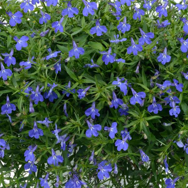 Lobelia Anabel Blue - Rooted Cutting Liner