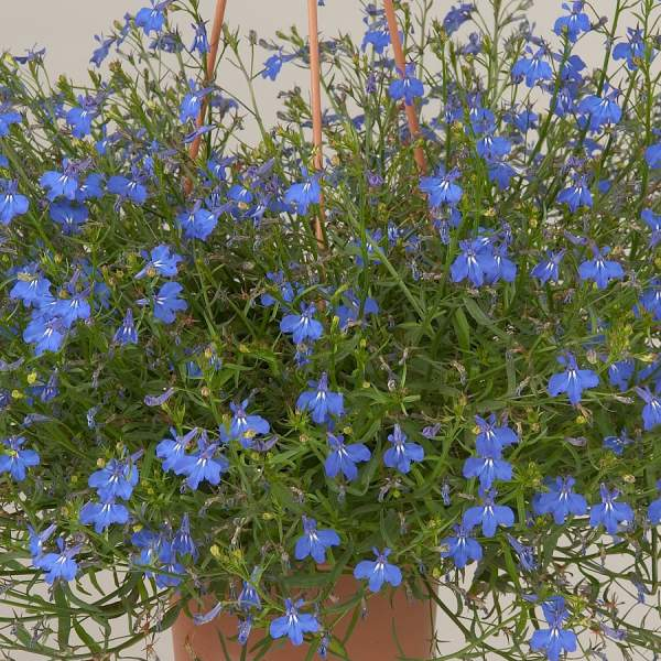 Lobelia Anabel Brilliant Blue - Rooted Cutting Liner