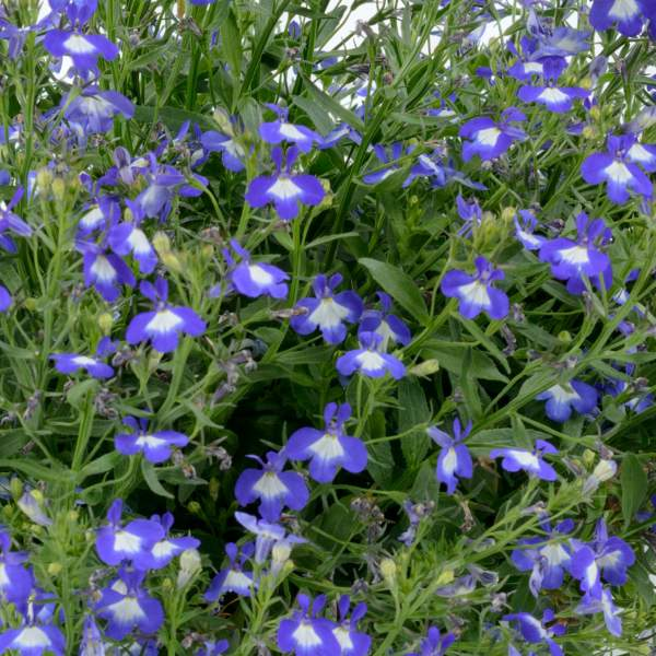 Lobelia Anabel Superior Blue - Rooted Cutting Liner