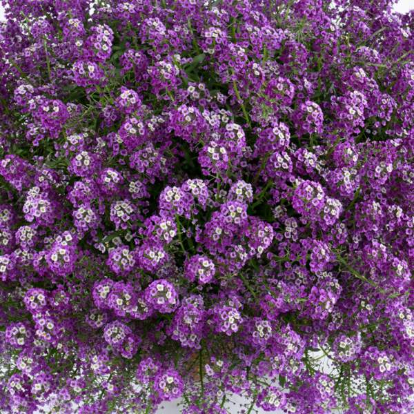 Lobularia Alyssum Deep Lavender Stream - Rooted Cutting Liner