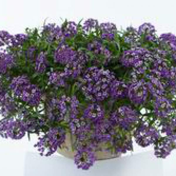 Image Of Lobularia Alyssum Lavender Stream