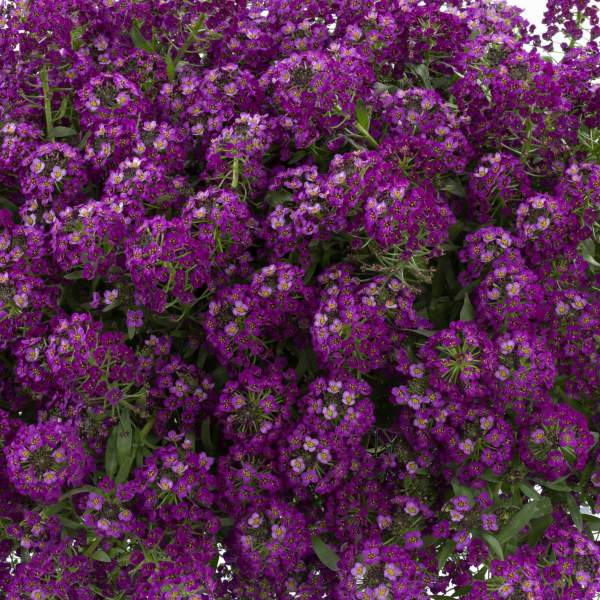 Lobularia Alyssum Purple Stream - Rooted Cutting Liner