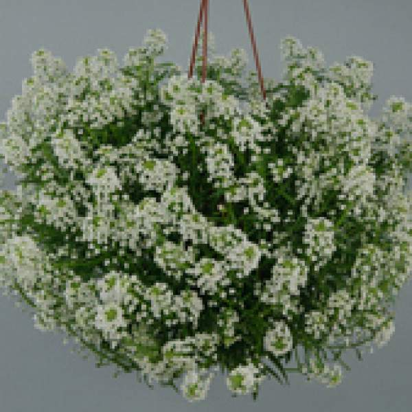 Lobularia Alyssum Silver Stream - Rooted Cutting Liner