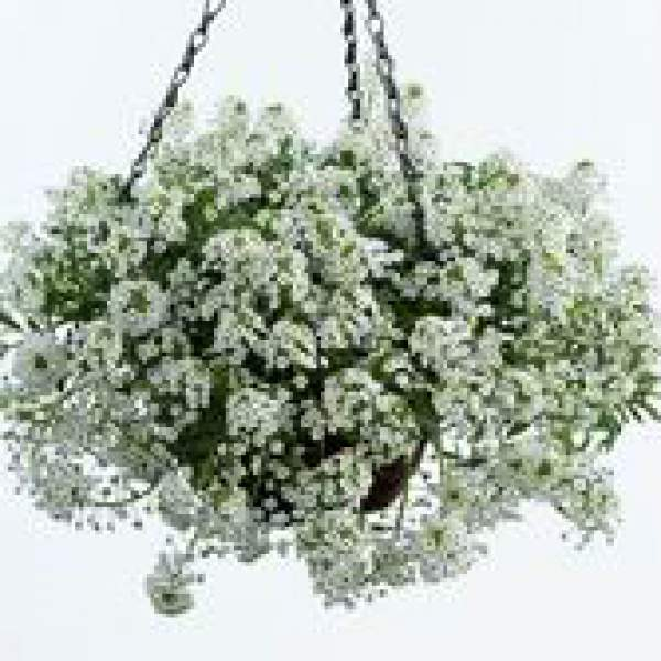Lobularia Alyssum White Stream - Rooted Cutting Liner