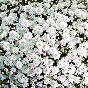 Belgian Mum Mabel White - Rooted Cutting Liner