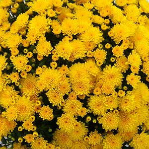 Image Of Belgian Mum Malmo Yellow