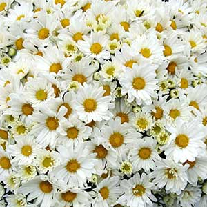 Belgian Mum Margo White - Rooted Cutting Liner