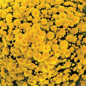 Image Of Belgian Mum Matador Yellow