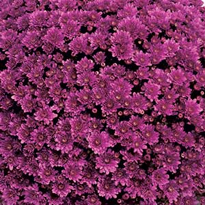 Belgian Mum Mefisto Purple - Rooted Cutting Liner