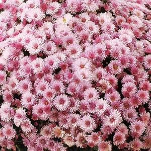 Image Of Belgian Mum Milano Pink