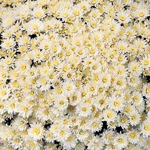 Belgian Mum Milano White - Rooted Cutting Liner