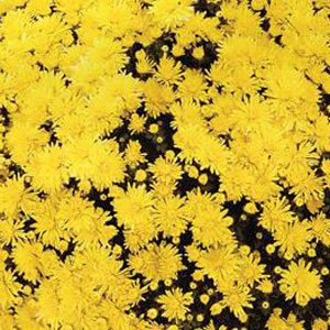 Image Of Belgian Mum Milano Yellow