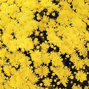 Belgian Mum Milano Yellow