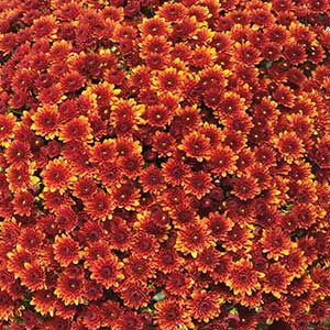 Belgian Mum Miora Orange - Rooted Cutting Liner