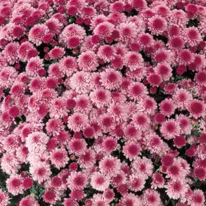 Belgian Mum Molfetta Pink - Rooted Cutting Liner