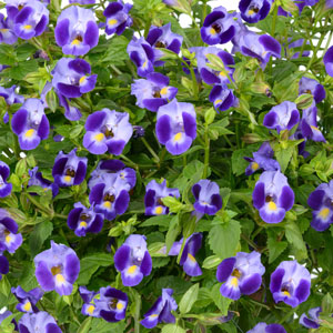 Torenia Moon Indigo - Rooted Cutting Liner