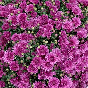 Belgian Mum Morato Pink - Rooted Cutting Liner