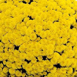 Image Of Belgian Mum Mouria Yellow